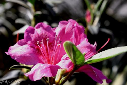 Flor de Azaléia